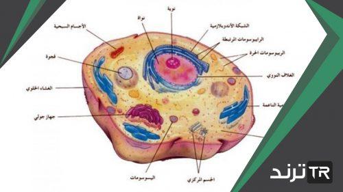 تركيب الخلية الذي يساعدها على خزن الماء والغذاء والهواء هو