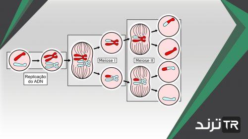 تنفصل الكروموسومات بعضها عن بعض خلال الانقسام المتساوي في الطور
