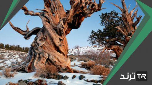 أقدم الأشجار التي ما زالت موجودة إلى يومنا هذا هي