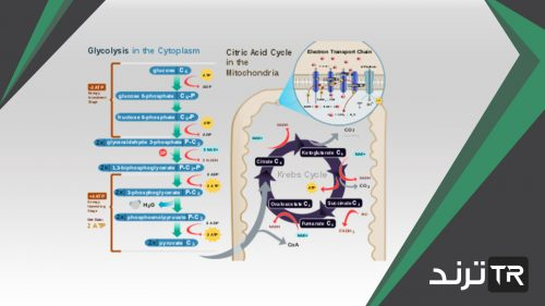 تحدث عملية التنفس الخلوي في الميتوكندريا